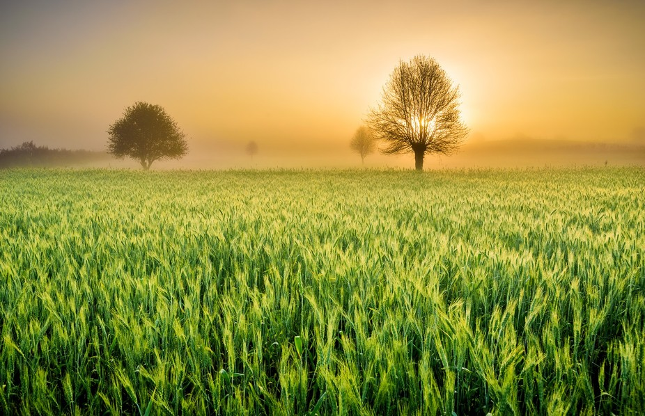 Beautiful sunrise behind the trees and wheat plantation field while breaking out the mists.