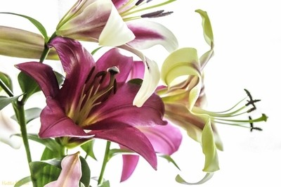lily study: bouquet bright 8058