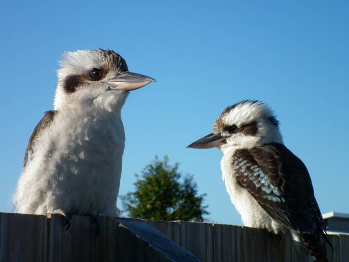 The Kookaburra, a native Australian bird, is also known as the laughing bird because of it's call which sounds just like human laughter. Their loud cacophony wakes me up every morning!