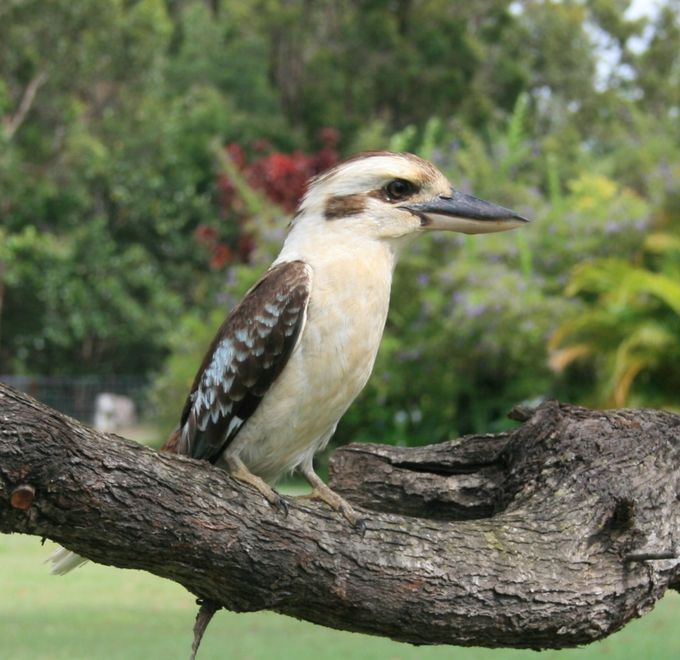 "Kookaburra, Australian native bird, also known as the ""Laughing Bird"" because it's call sounds just like someone with a crazy sounding laugh!"