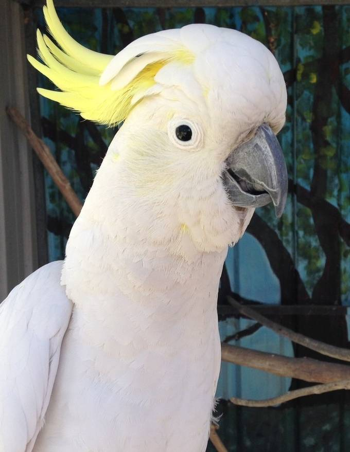 Sulphur Crested White Cockatoo, native to Australia, and such a beautiful bird but cover your eardrums when they screech...it's deafening!