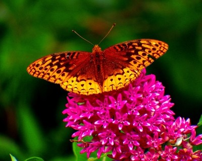 Endangered Purple Milkweed and Great Spangled Fritillary Butterfly