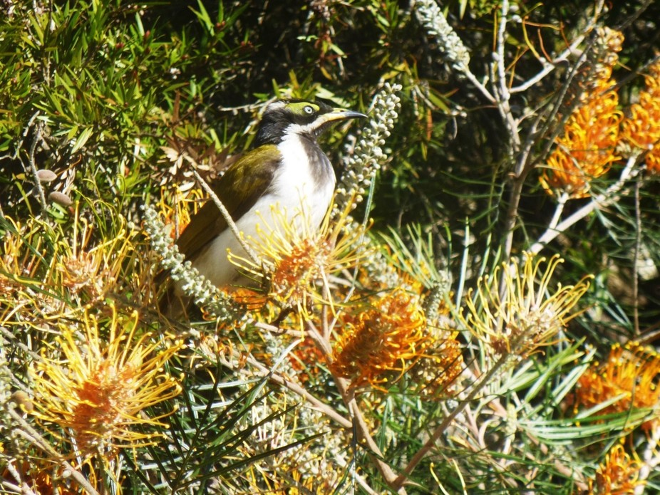 a female blue faced honey eater enjoying my honey gem grevillea bush. Kingaroy, Queensland, Austr...