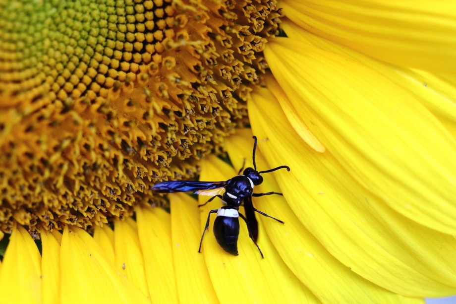 Sunflower 113500