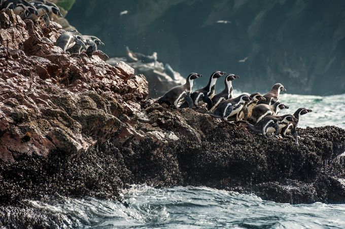 Penguins of Ballestas by Laska - World Expeditions Photo Contest