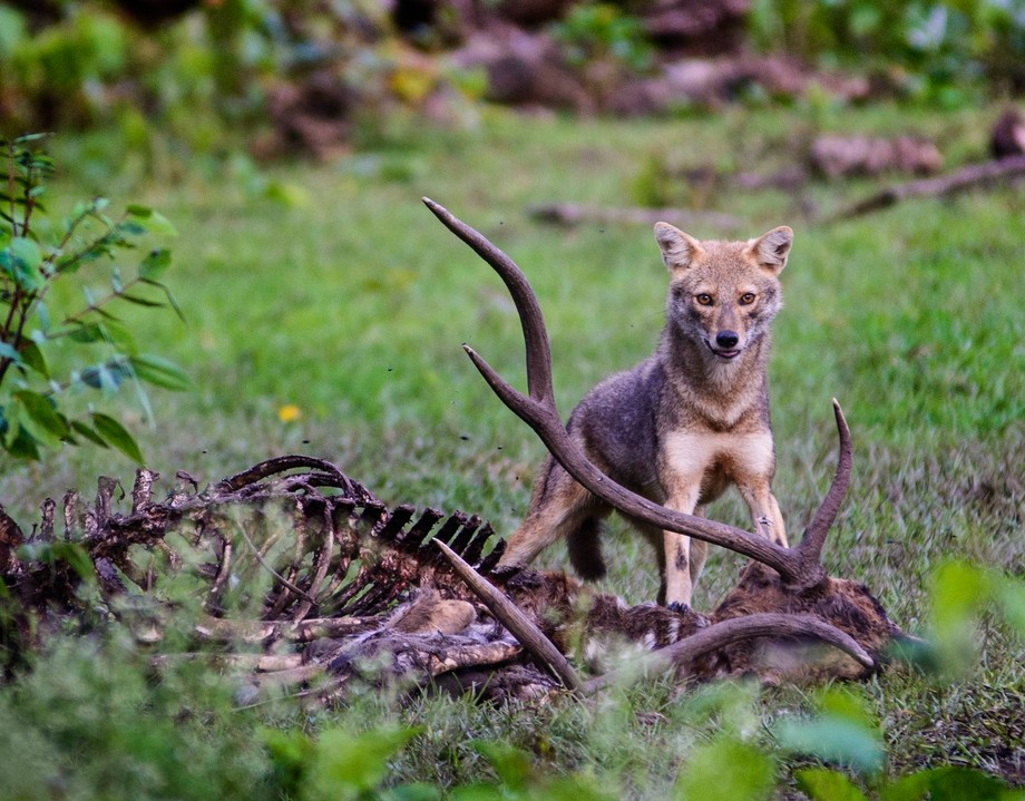 Spotted in the wild near the Kabini River, (Kanataka / Kerala Border area)