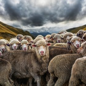 New Zealand is a land where sheep outnumber people seven times over. The most well known of New Zealand's sheep breeds is the Merino who produc...