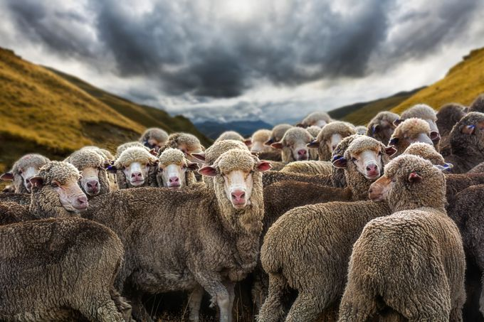 The Merino's by Nishant-101 - Rural Vistas Photo Contest