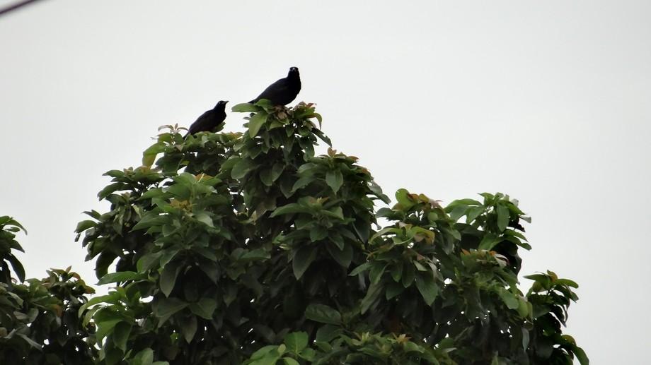 El zanate o zanatillo (Quiscalus nicaraguensis) es una especie de ave paseriforme de la familia I...