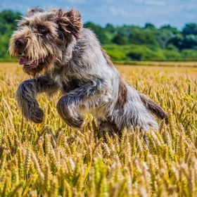 Leaping italian spinone
