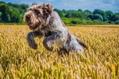 Leaping Spinone