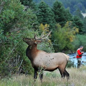 The Big Thompson River flows through Estes Park, CO. This satellite bull was thrashing the willow brush with his antlers while two fly fisherman ...