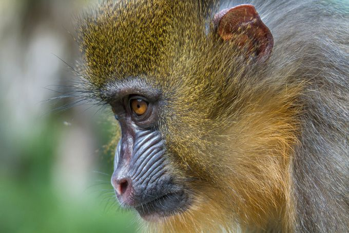 Marcus the Mandrill by danmiami - Monkeys And Apes Photo Contest