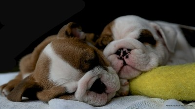 Sleepy Bulldogs