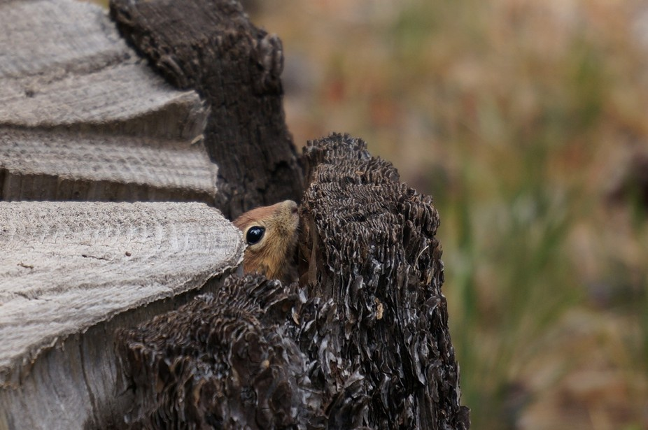 How lucky was I to see this little guy peeking out from a tree stump?!