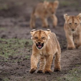 Maasai Mara main reserve, cubs from the Marsh pride taking a strole