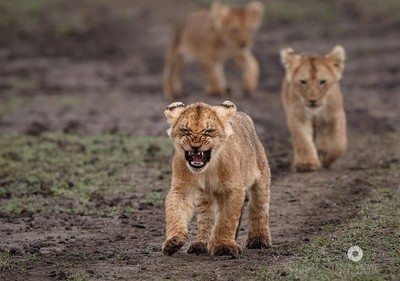 Marsh pride cubs on the move