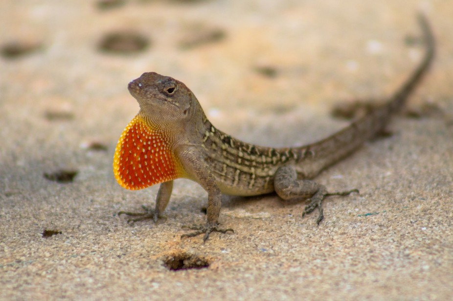 A lizard showing off his bright fin