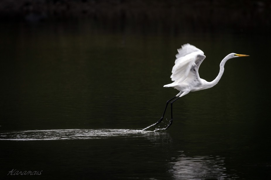 A great white egret, skimming its feet across the water as it takes off.