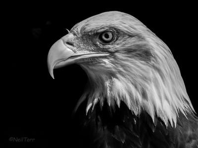 Dollar the Bald Eagle
