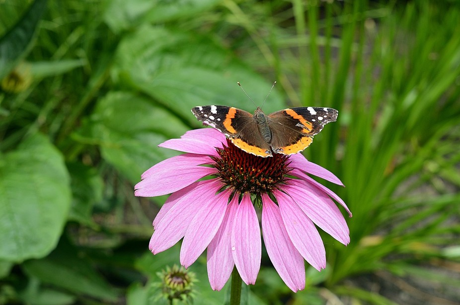 A butterfly on a flower in Chicago\'s Millennium Park.