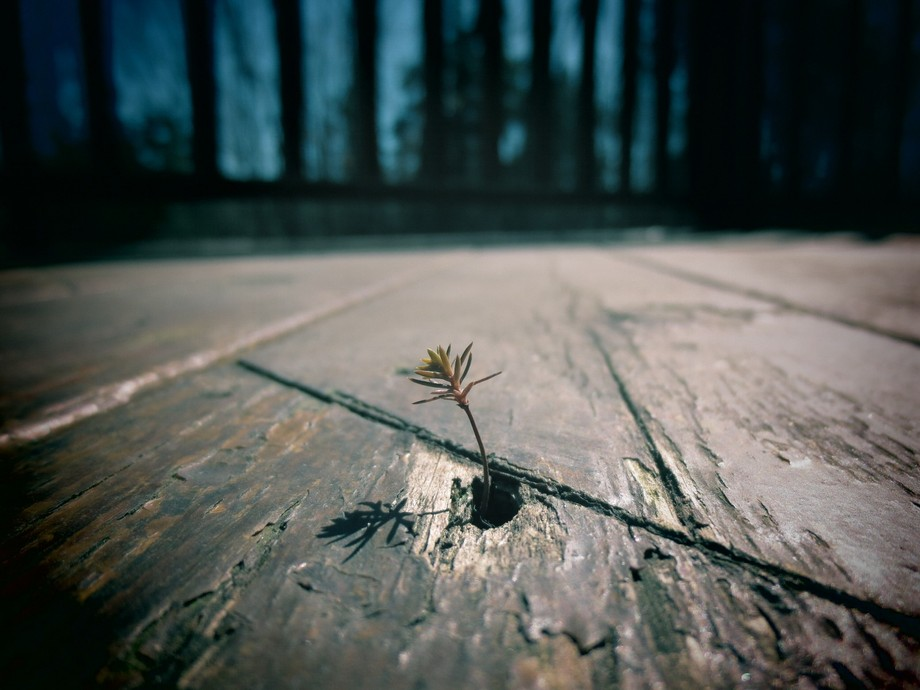 This little sprout of a pine tree was literally growing out of a hole in my deck. It was about an...