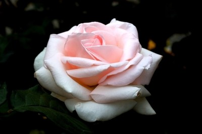 Peaceful Pink Rose