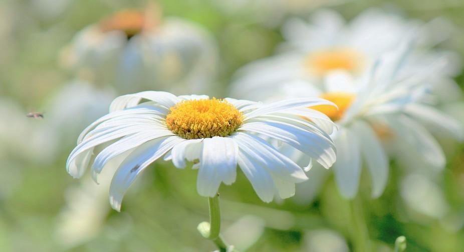 IMG_8653 (2) daisy