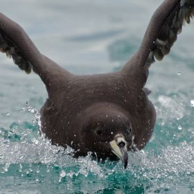 This is a Westland Black Petrel  taken off Kaikoura off shore in Oct of 2012