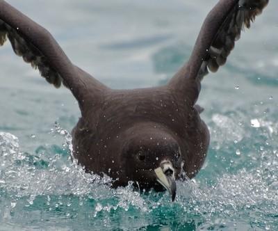 Westland Black petrel on landing