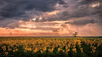 Sunflowers bathing
