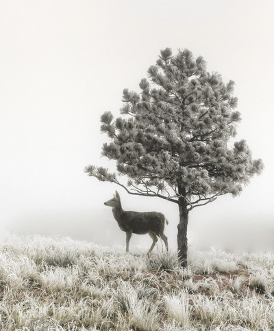 Frosted Deer