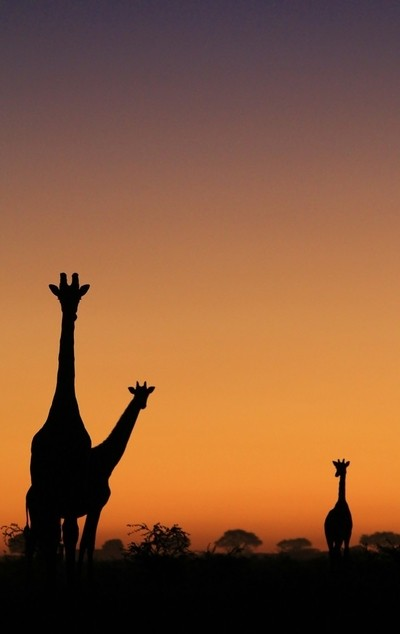 Giraffe Silhouette - Portrait of a Free Family