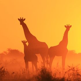 A herd of Giraffe pose for a sunset silhouette photograph, as seen in the wilds of Namibia, southwestern Africa.
