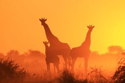 Giraffe Silhouettes - Golden Family from Nature