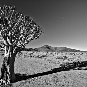 Quiver tree in Richtersveld