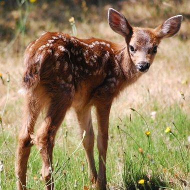 Twin baby deer at old heritage church in Parksville behind Wembley Mall on June 30, 2015