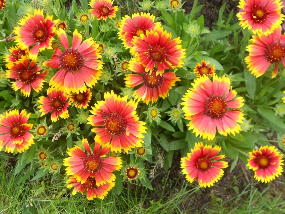 summer blooms in my garden...these blanket flowers are so cheery with their vibrant red/orange an...