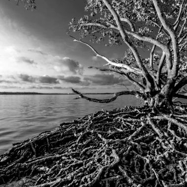 The extreme low tide yielded the beautiful and complex root system of one of our most essential coastal trees.