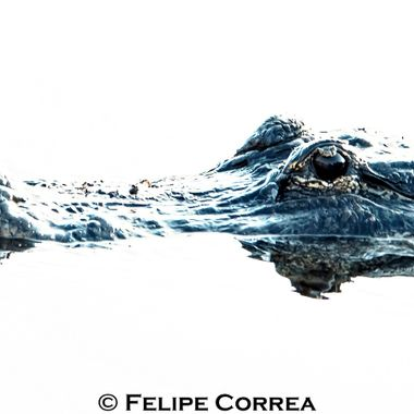 This male gator had just fought for mating rights. He won. He did.