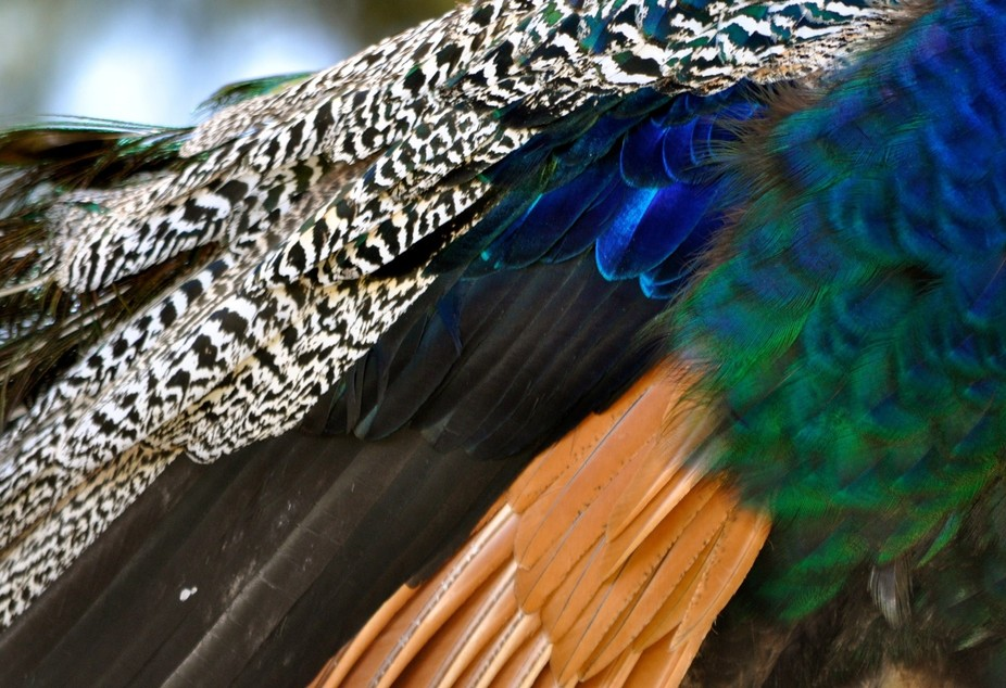 Peacock Feathers 2