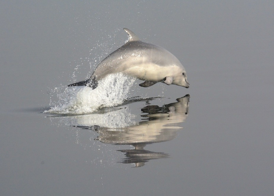 A calf of the Dusky Sound, New Zealand, bottlenose dolphin (Tursiops truncatus) population.
