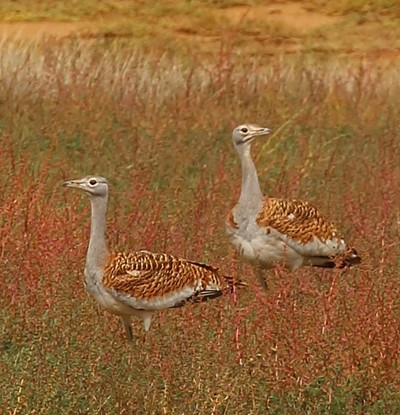 great bustard standing_1