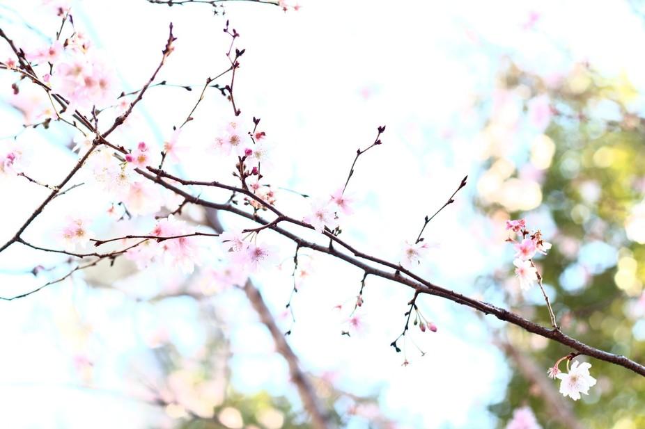 寒桜ーKansakura-
