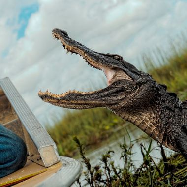 Large female gator responding to Fabian, a member of the Miccossukee indian tribe.