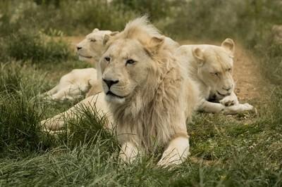 Pride of White lions.
