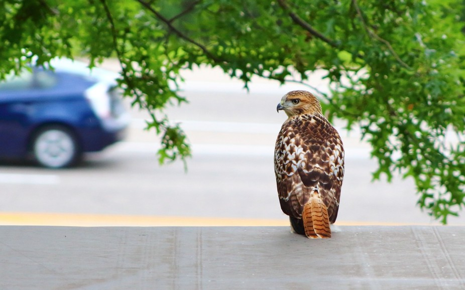 The hawk in the city!!