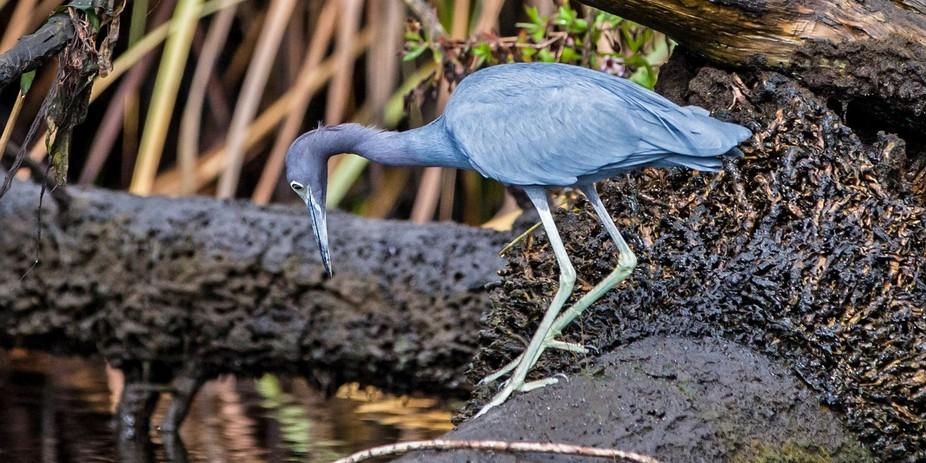 Little Blue Heron, Florida