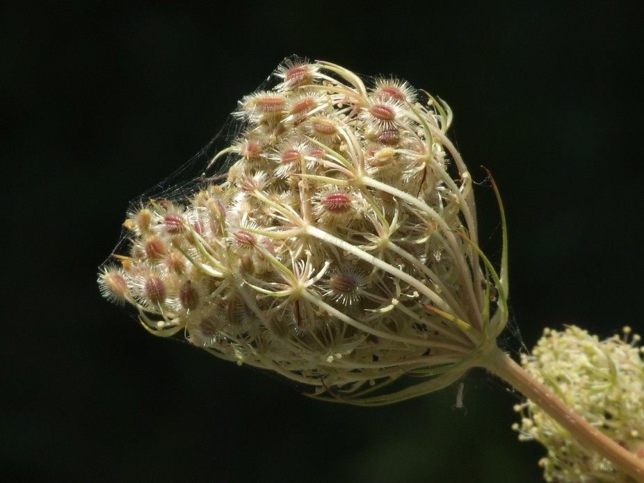 I took this photo of a Queen Anne\'s Lace seed pod wrapped in a spider web near the original Woods...