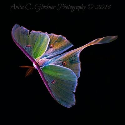 Luna moth on water